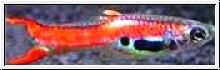 Endler Guppy-Red Scarlet-Zuchtpaar, Poecilia sp.wingei,